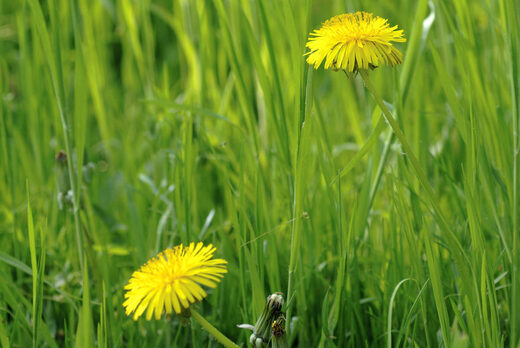 Dandelion can help heal the kidneys and liver