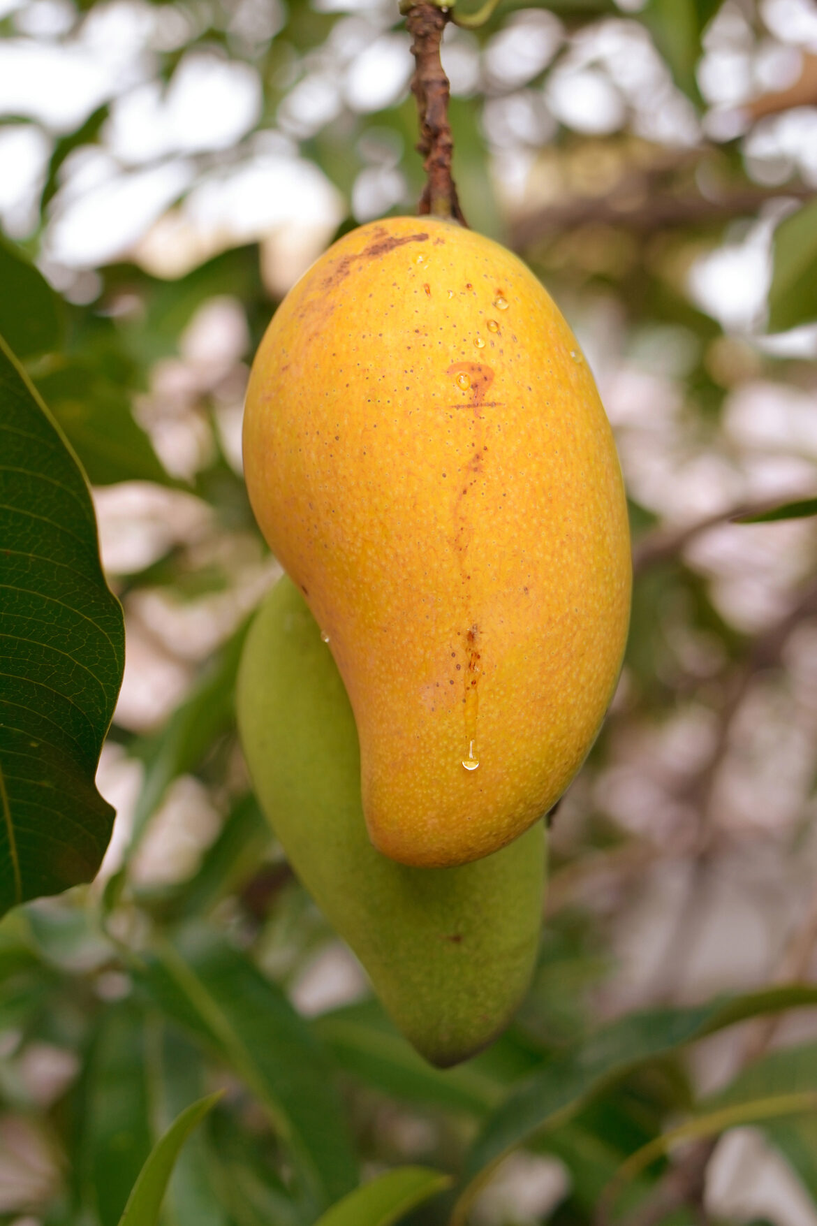 Mangoes are among the best foods to regulate blood pressure.