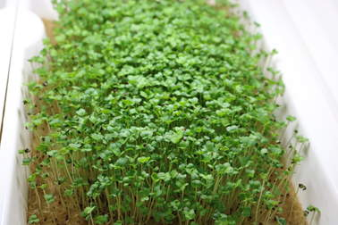 Fresh microgreens are among the most nutritious superfoods available